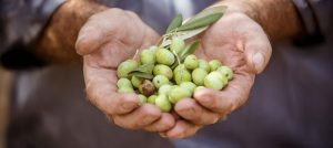 Crete olives after harvest - Best Greece Food & Wine Tours