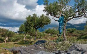 Peloponnese olive harvest - Best Greece Food & Wine Tours