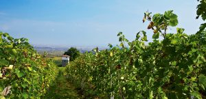 Northern Greece Vineyard - Best Greece Food & Wine Tour